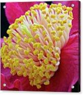 Camellia Centre Acrylic Print