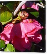 Camellia Light And Bud Acrylic Print