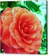 Camellia Acrylic Print
