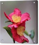 Camellia Sasanqua Yuletide 1 Acrylic Print