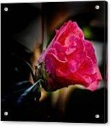 Camellia Silhouette  Acrylic Print