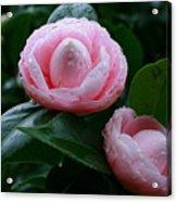 Camellias Acrylic Print