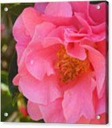 Camellias Of The South Acrylic Print