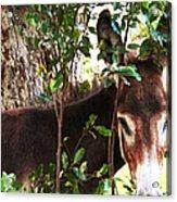 Camera Shy Donkey Acrylic Print