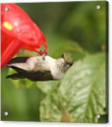 Can I Help You Hummingbird  Acrylic Print