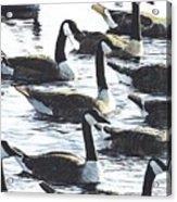 Canada Geese 1 Acrylic Print