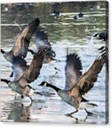 Canada Geese 1390-011618-1 Acrylic Print