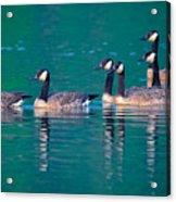 Canada Geese 2 Acrylic Print