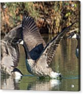Canada Geese 5659-092217-1cr-p Acrylic Print