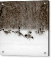 Canada Geese Feeding In Winter Acrylic Print