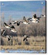 Canada  Geese Flock Acrylic Print