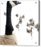 Canada Geese Goose With Wetlands Birds And Waterfowl Acrylic Print by Andy Smy
