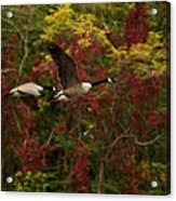 Canada Geese In Autumn Acrylic Print