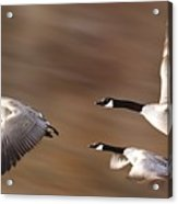 Canada Geese In Flight Acrylic Print
