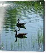 Canada Geese Swimming By Fountain Acrylic Print