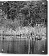 Canada Goose Couple Bw Acrylic Print