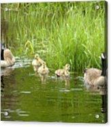 Canada Goose Family 2 Acrylic Print