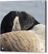 Canada Goose Head Acrylic Print