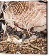 Canada Goose Maternity Ward Acrylic Print