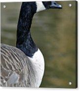 Canada Goose Portrait Acrylic Print