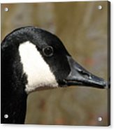 Canada Goose Profile Acrylic Print