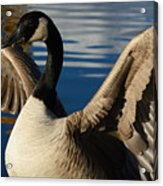 Canada Goose Spreading The Wings Acrylic Print