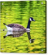 Canada Goose Swimming In A Pond Acrylic Print