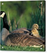 Canada Goose With Goslings Acrylic Print by Alan and Sandy Carey and Photo Researchers