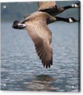 Canada's Goose Acrylic Print