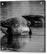 Canadian Geese 2 Acrylic Print