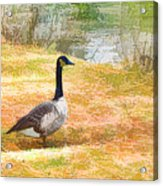 Canadian Geese 6 Acrylic Print