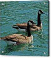 Canadian Geese Acrylic Print