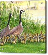 Canadian Geese Family Acrylic Print
