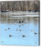 Canadian Geese In Flight Acrylic Print