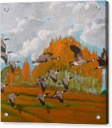 Canadian Geese Acrylic Print