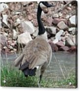 Canadian Goose By The River Acrylic Print