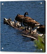 Canada Goose Family Line-up Acrylic Print