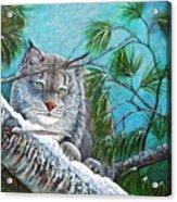 Canadian Lynx Acrylic Print