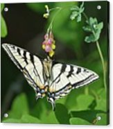Canadian Tiger Swallowtail Butterfly-underside Acrylic Print