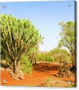 candelabra euphorbia tree Euphorbia candelabrum, Kenya Acrylic Print