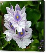Candlelight Water Hyacinth Bloom Acrylic Print