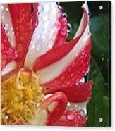 Candy Cane Dahlia Acrylic Print