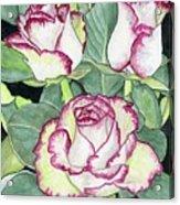 Candy Cane Roses Acrylic Print