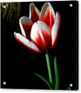 Candy Cane Tulip Acrylic Print