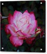 Candy Care Cocktail Floribunda Rose- Digital Art Acrylic Print