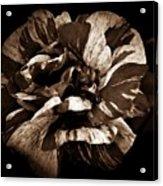 Candy Stripe Rose Sepia  Acrylic Print