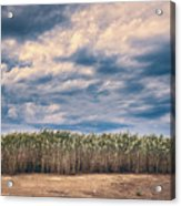 Cane Thicket Acrylic Print