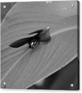 Canna In Black And White Acrylic Print