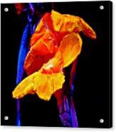 Canna Lilies On Black With Blue Acrylic Print