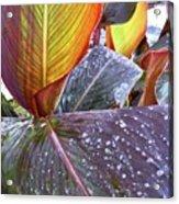 Canna Lily I  Acrylic Print